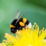 Sơ cứu khi bị ong đốt